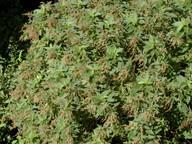 Gesnouinia arborea