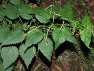 Urtica morifolia