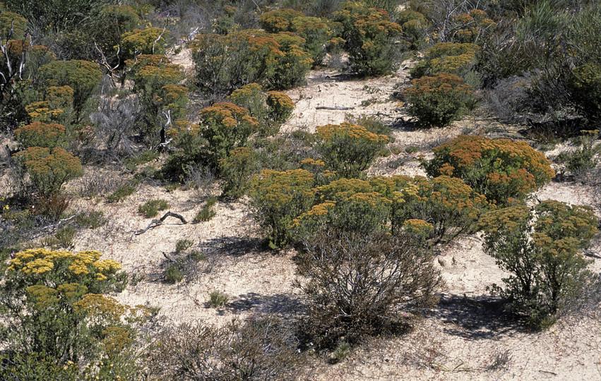 Verticordia polytricha