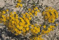 Verticordia chrysantha