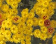 Verticordia nobilis