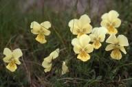 Viola alpestris