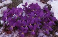 Viola gracilis?