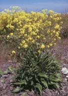 Bunias orientalis