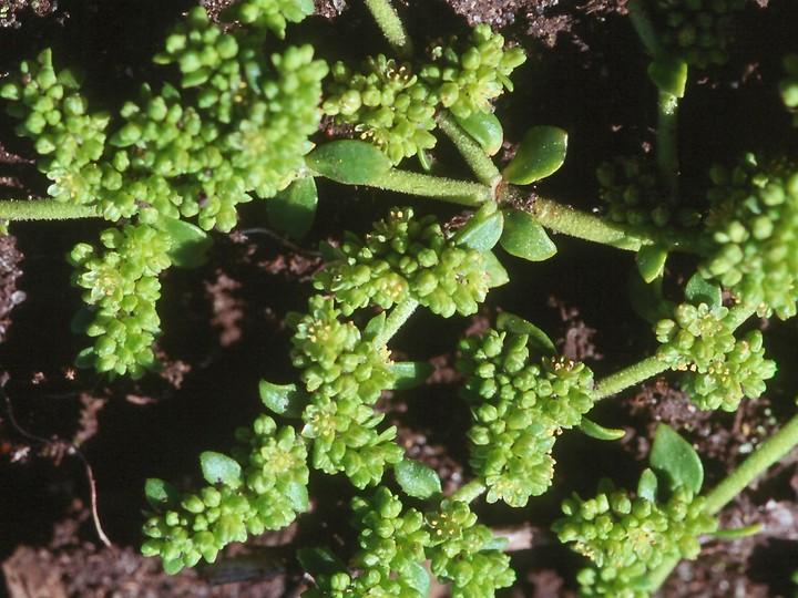 Herniaria glabra
