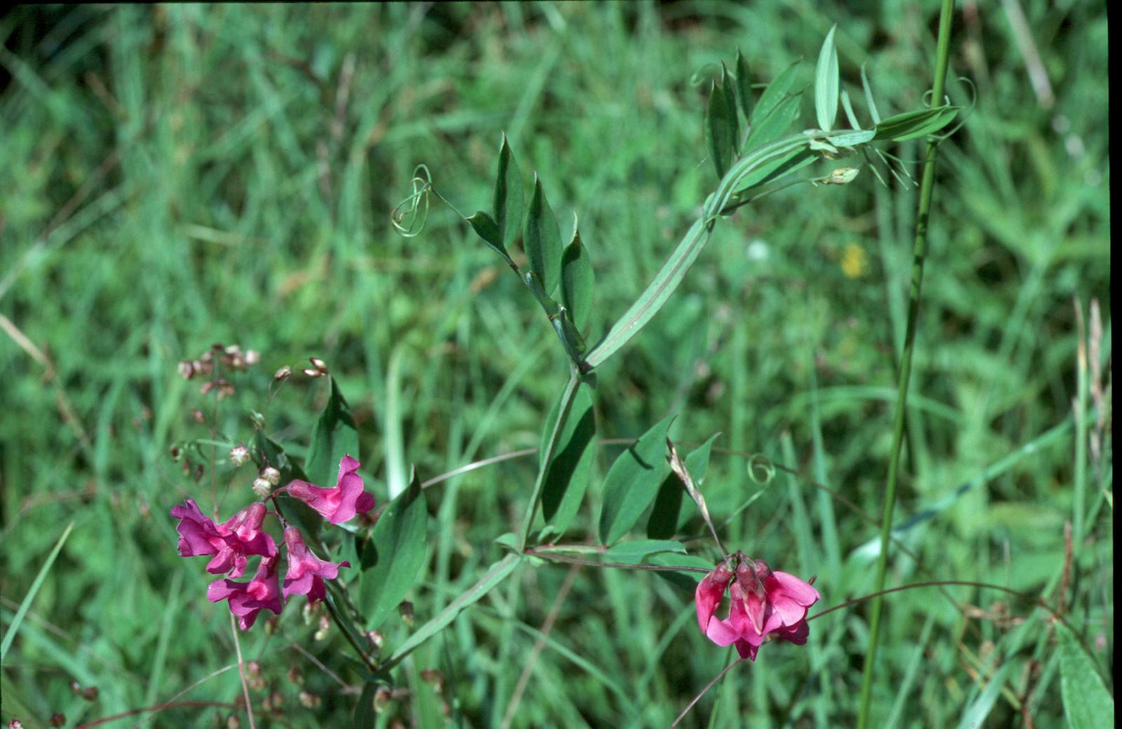 Lathyrus palustris