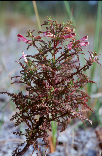 Pedicularis palustris ssp. opsiantha
