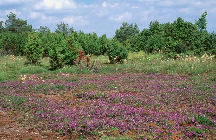 Scutellaria hastifolia
