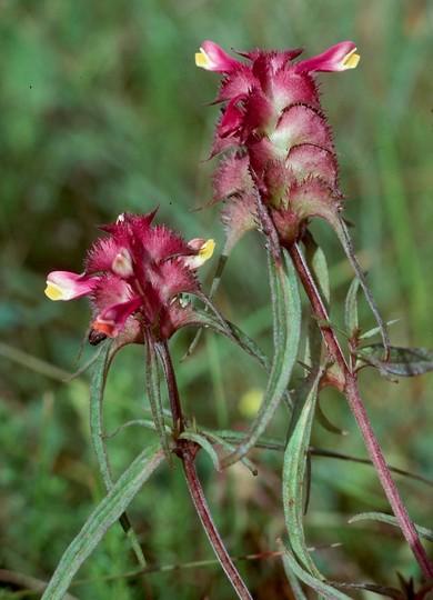 Melampyrum cristatum