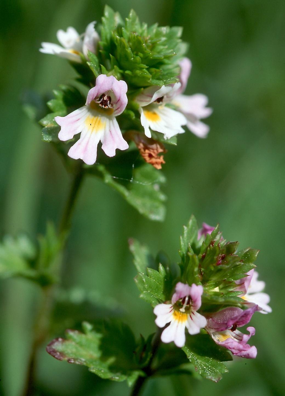 Euphrasia stricta ssp. suecica