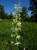 Plathanthera bifolia ssp. latifolia