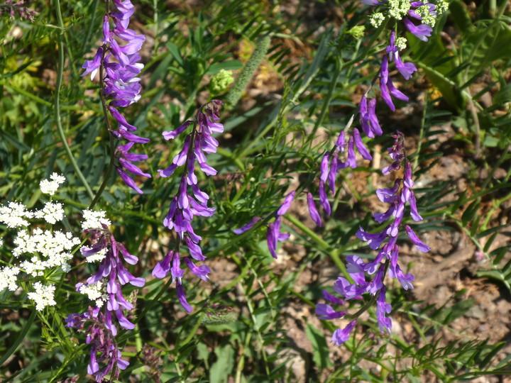 Vicia tenuifolia
