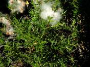 Salix repens subsp. rosmarinifolia