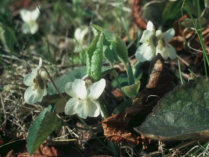 Viola alba