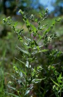 Lithospermum officinale
