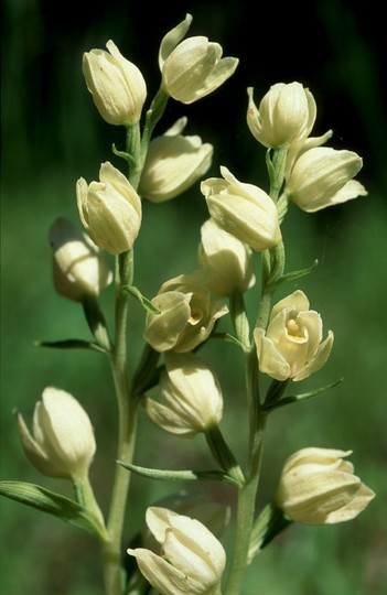 Cephalanthera damasonium