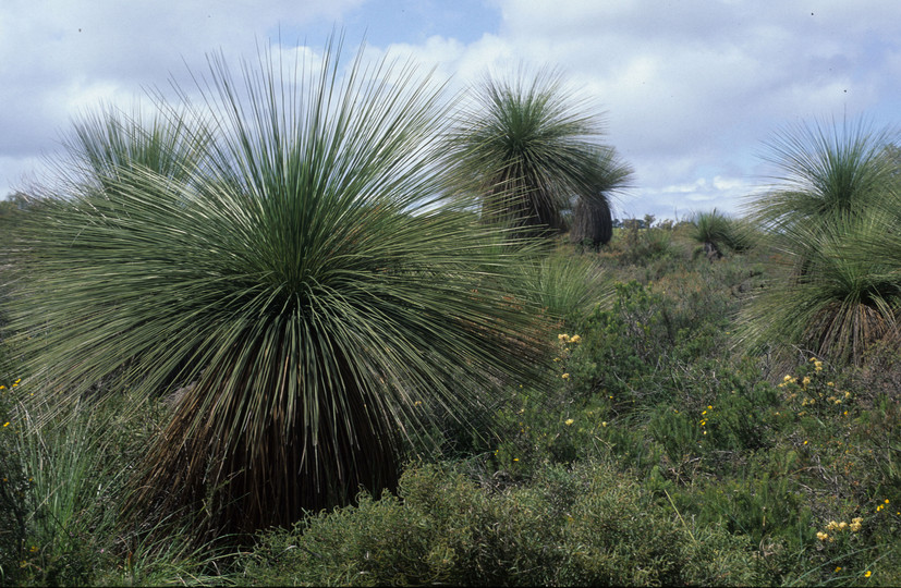 Kingia australis