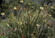 Dasypogon bromeliifolius