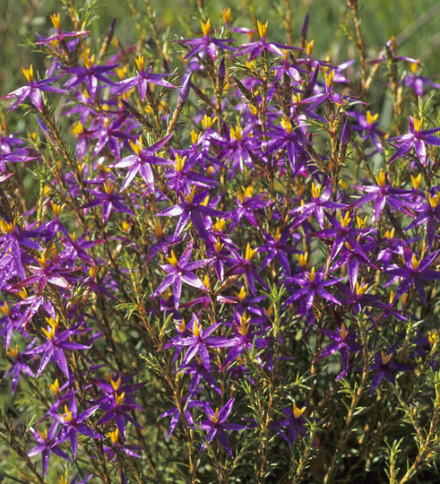 Calectasia grandiflora