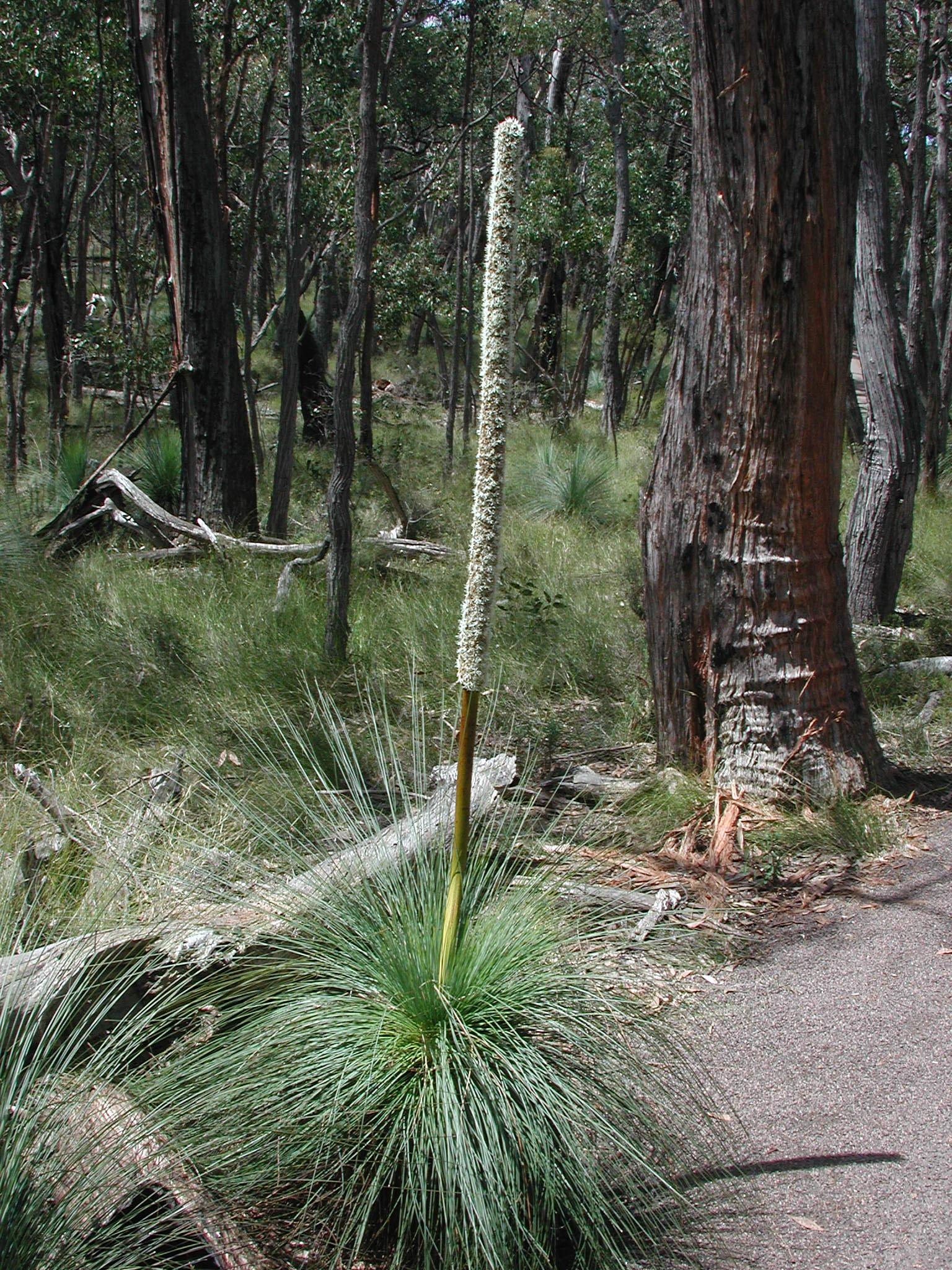 Xanthorrhoea australis