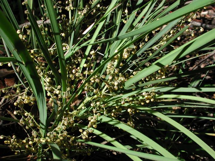Lomandra sp.?filiformis