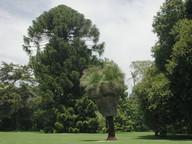 Xanthorrhoea malacophylla