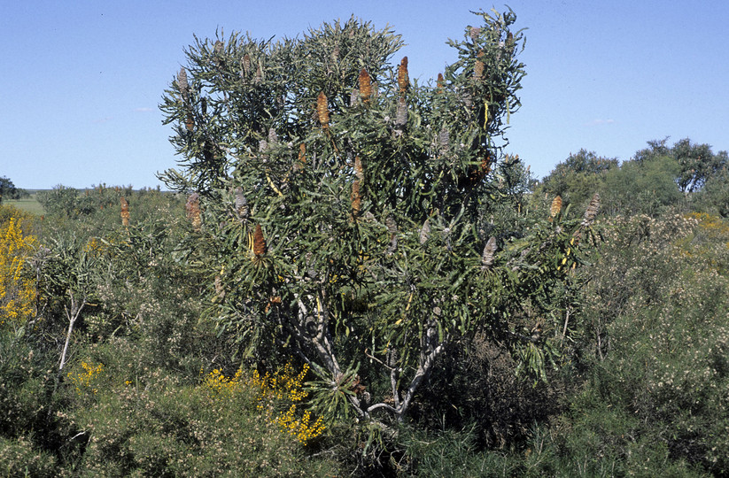 Banksia prionotes