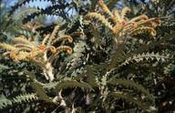 Banksia victoriae