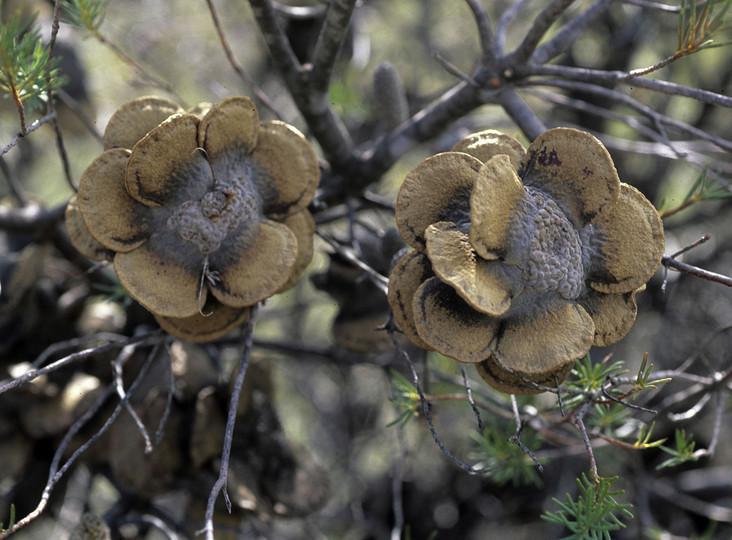 Banksia laricina