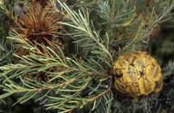 Banksia violacea