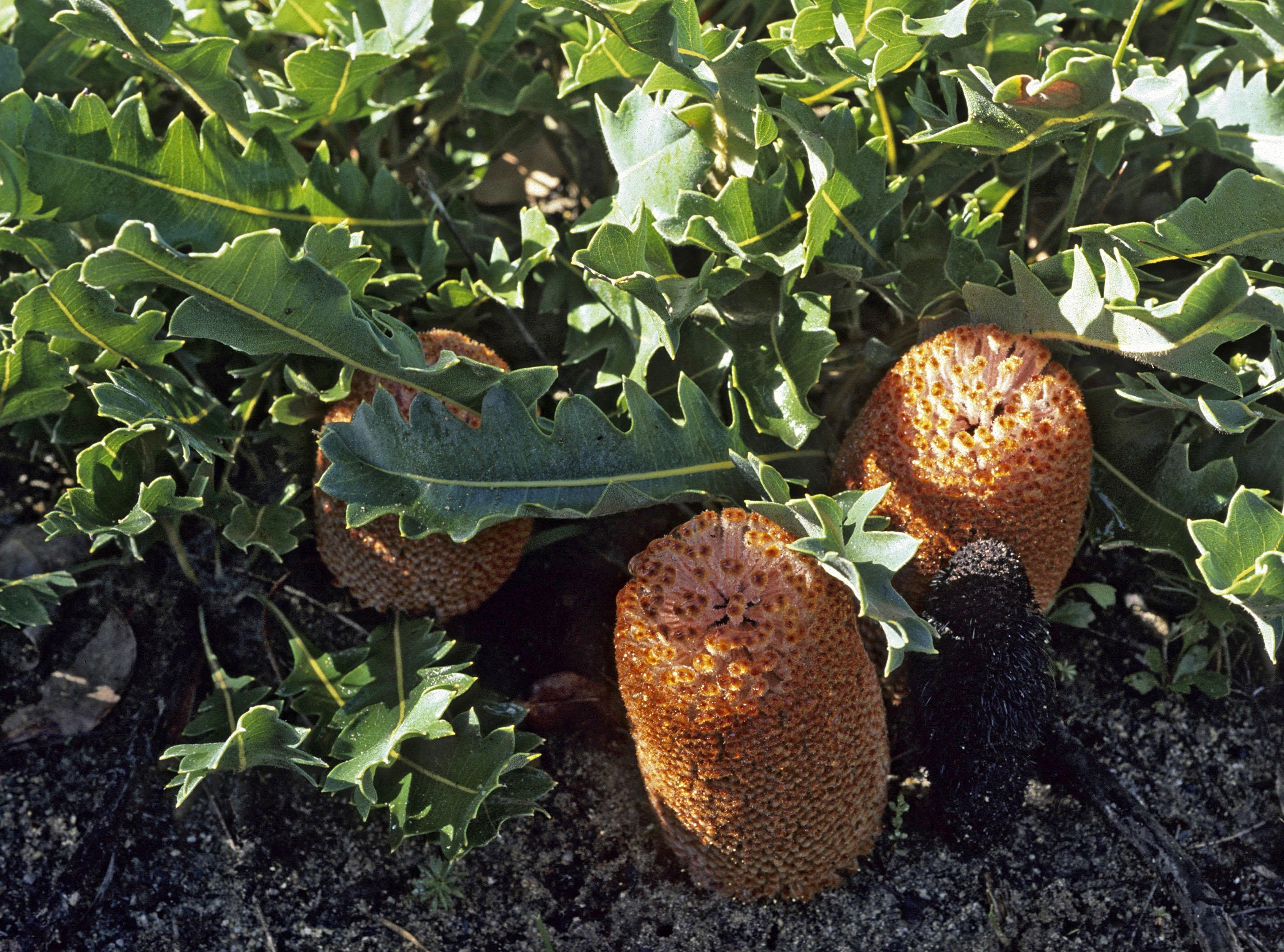 Banksia gardneri