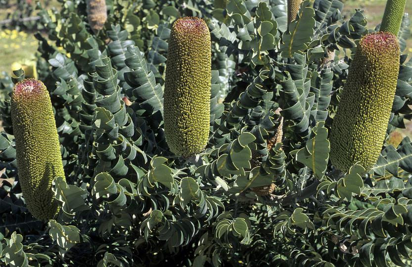 Banksia grandis