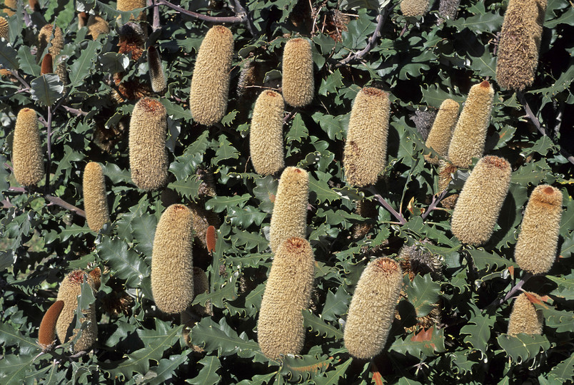 Banksia solandri