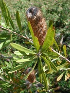 Banksia oblongifolia