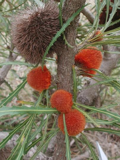 Banksia laevigata ssp. fuscolutea