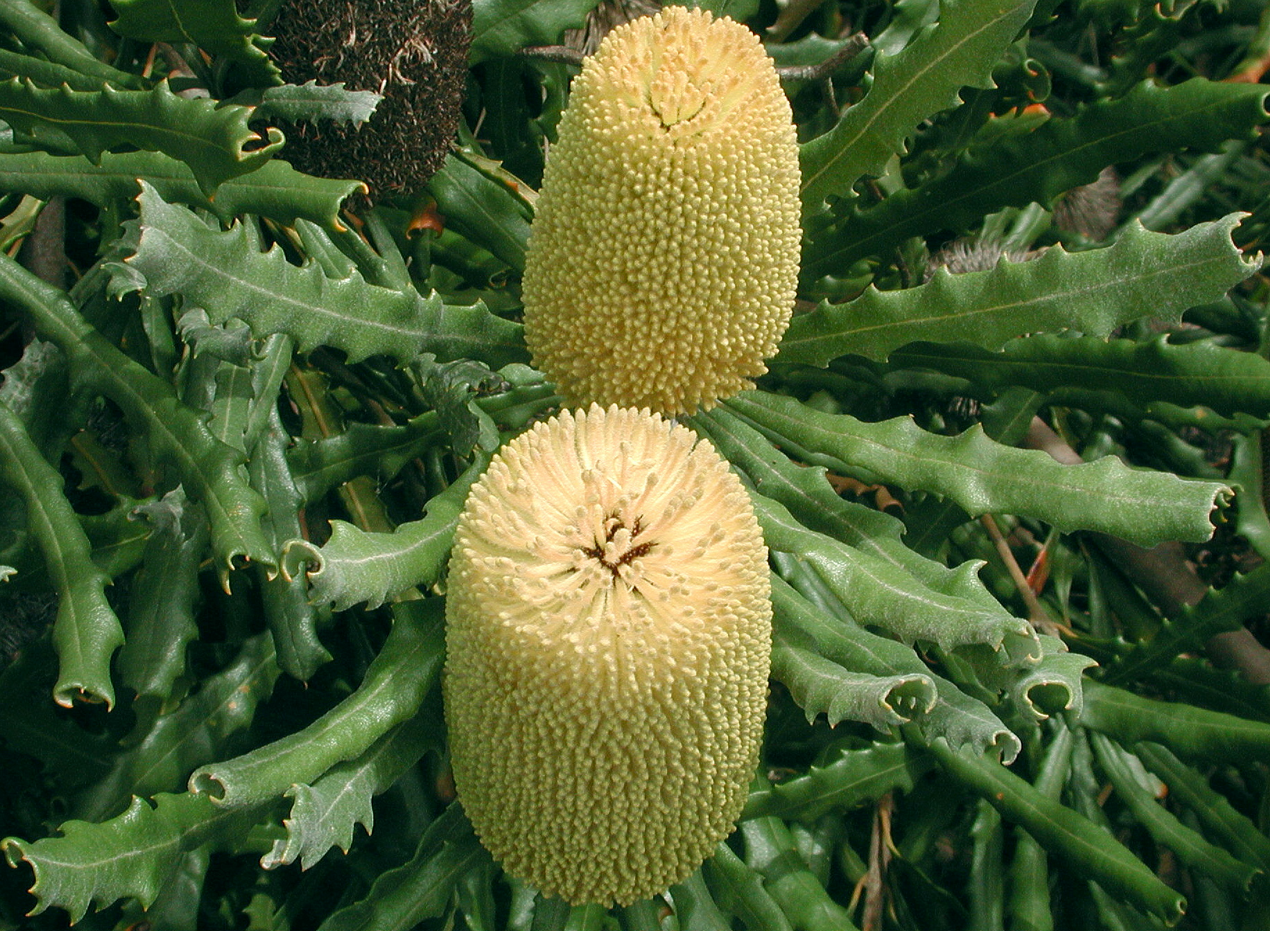 Banksia pilostylis