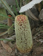 Banksia petiolaris