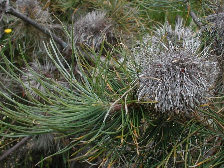 Banksia lanata