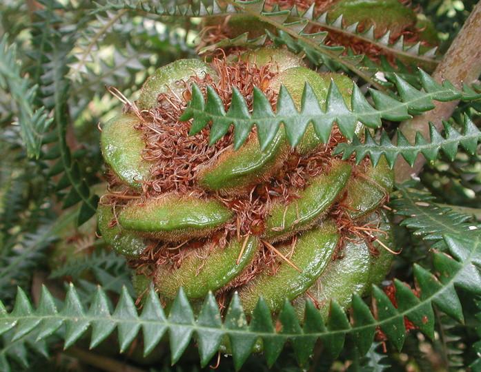 Banksia dryandroides