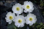 Ranunculus lyallii