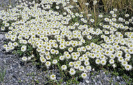 Helichrysum bellidioides