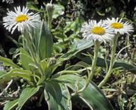 Celmisia verbascifolia