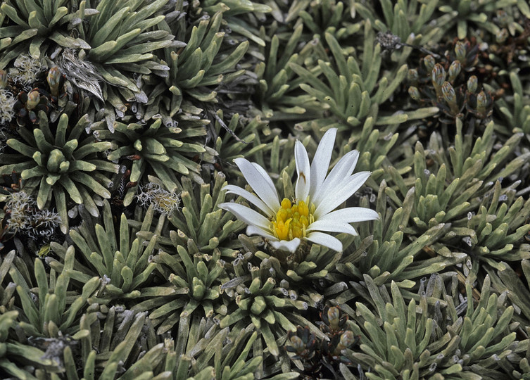Celmisia sessiliflora