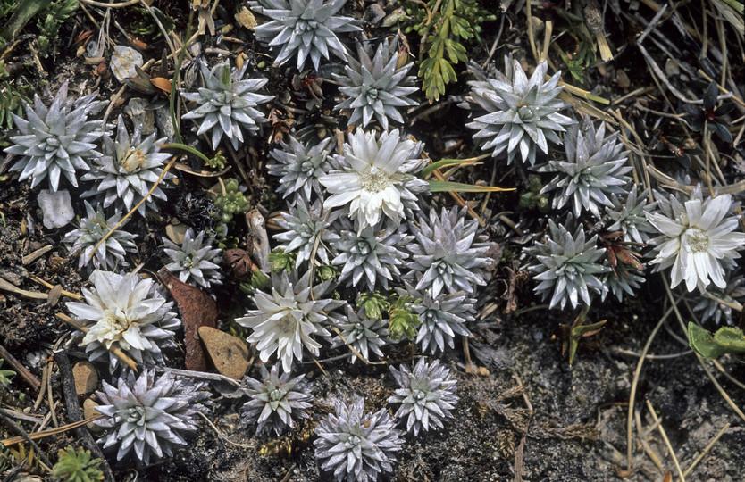 Raoulia grandiflora