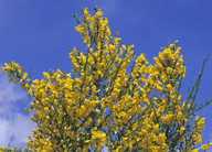Cytisus scoparius