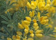 Lupinus arboreus