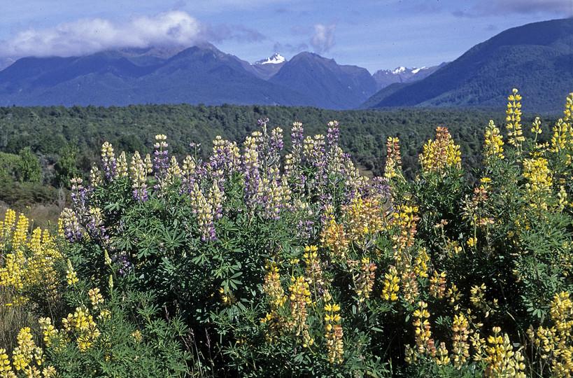 Lupinus arboreus x polyphyllus