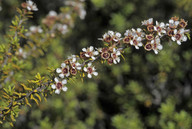 Kunzea ericoides ssp. microflorus