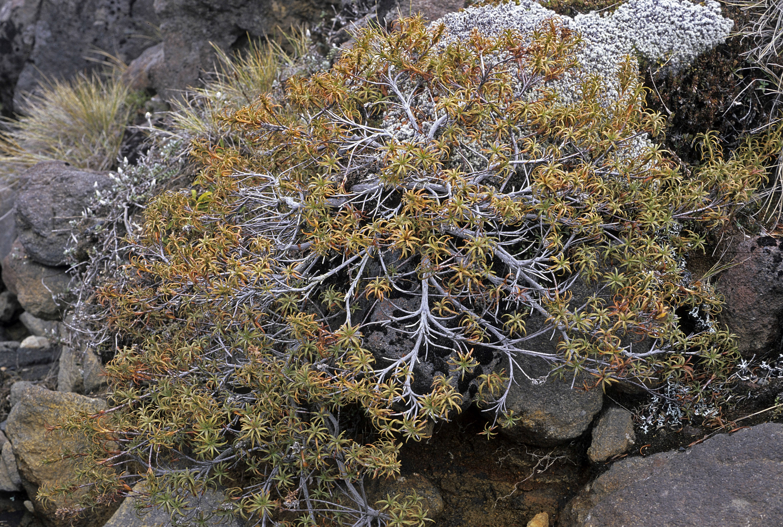 Dracophyllum recurvum