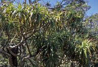 Dracophyllum traversii